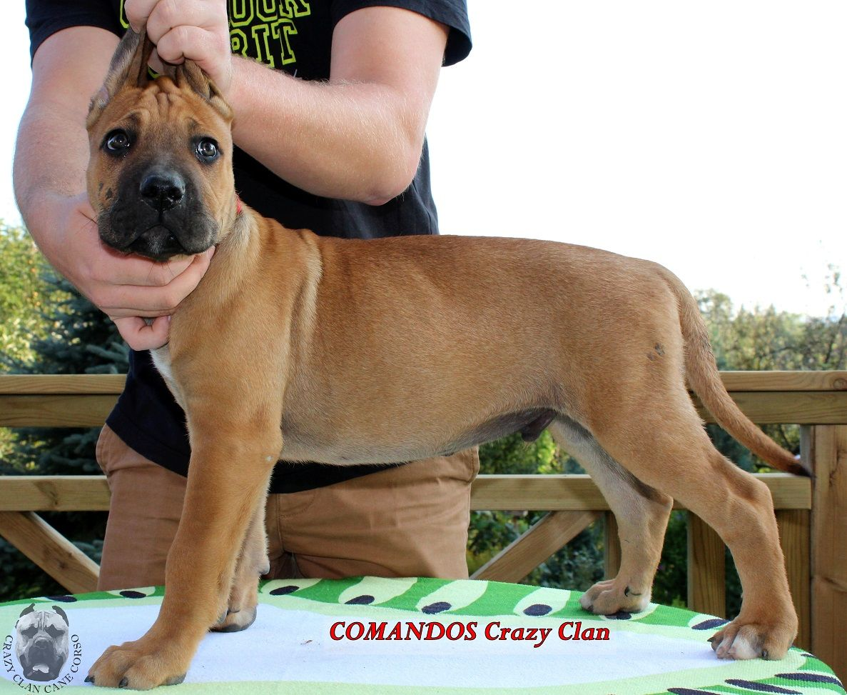 Pin Na Cane Corso Italiano Puppies For Sale