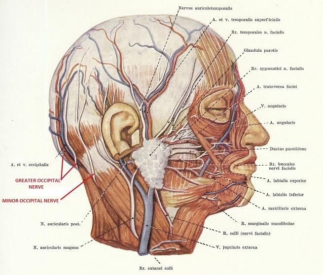 Occipital Nerve Mechanism Of Headache As A Result Of