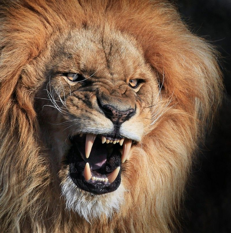 15 Angriest Wild Animals You D Better Never Meet Lion Wallpaper Angry Animals Lion