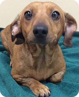 Tampa Fl Dachshund Mix Meet Ruby A Dog For Adoption Http