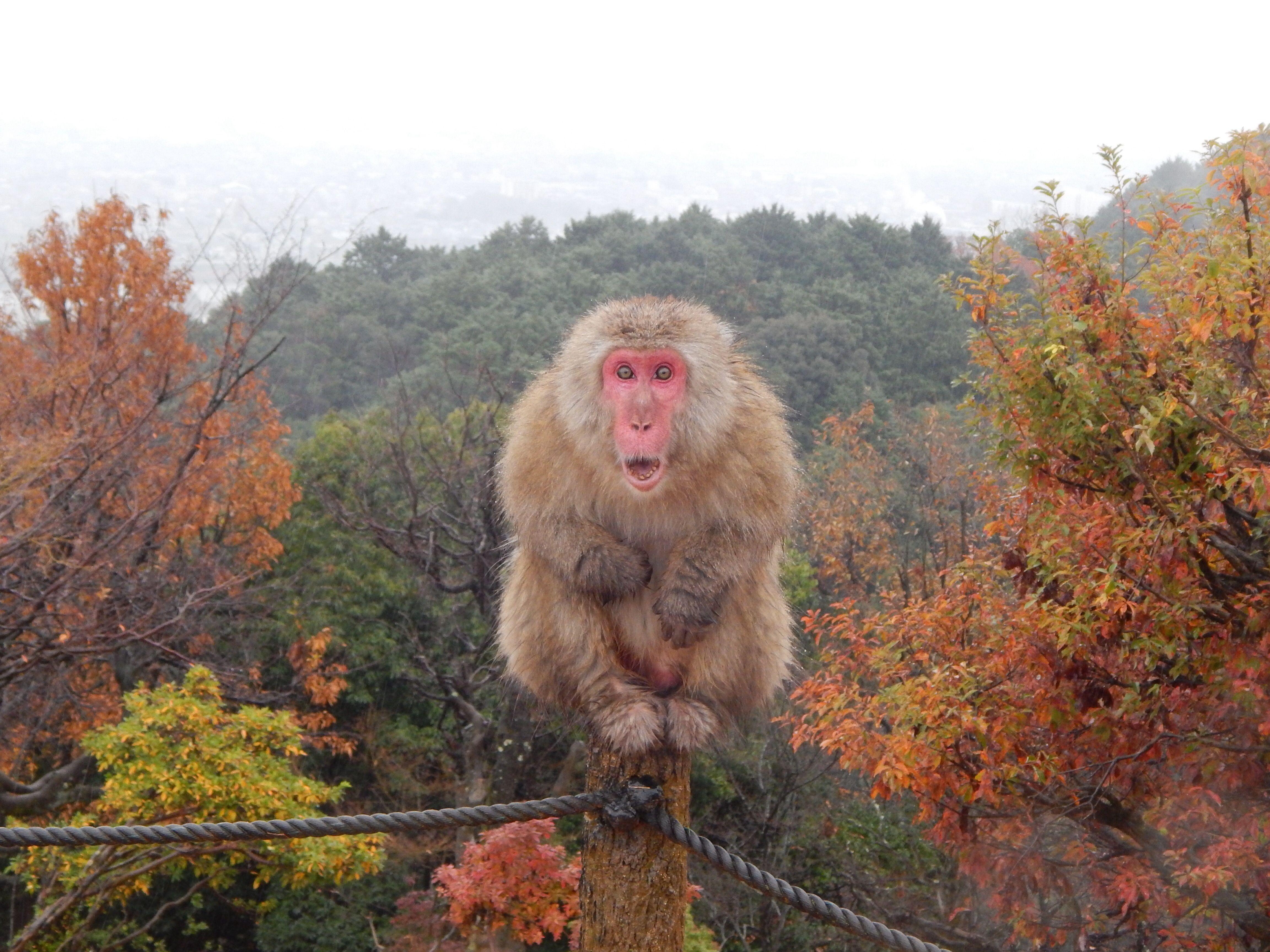 Monkey Forest, Japan, fall season, Japan travel #japan #japantravel #monkeyforest