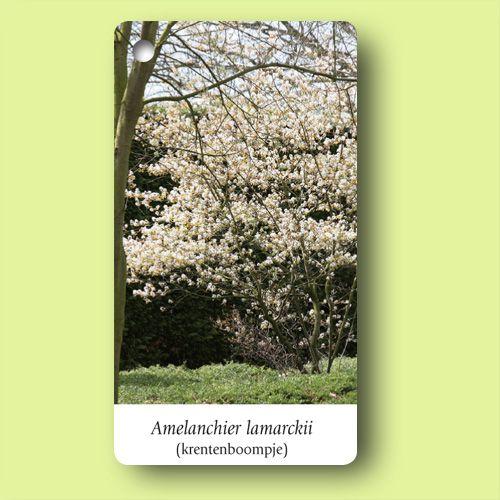 Het krentenboompje (Amelanchier lamarckii) is ideaal voor een kleine tuin. Deze boom of grote struik wordt uiteindelijk zelden hoger dan 5 meter en heeft een mooi grillige groeiwijze