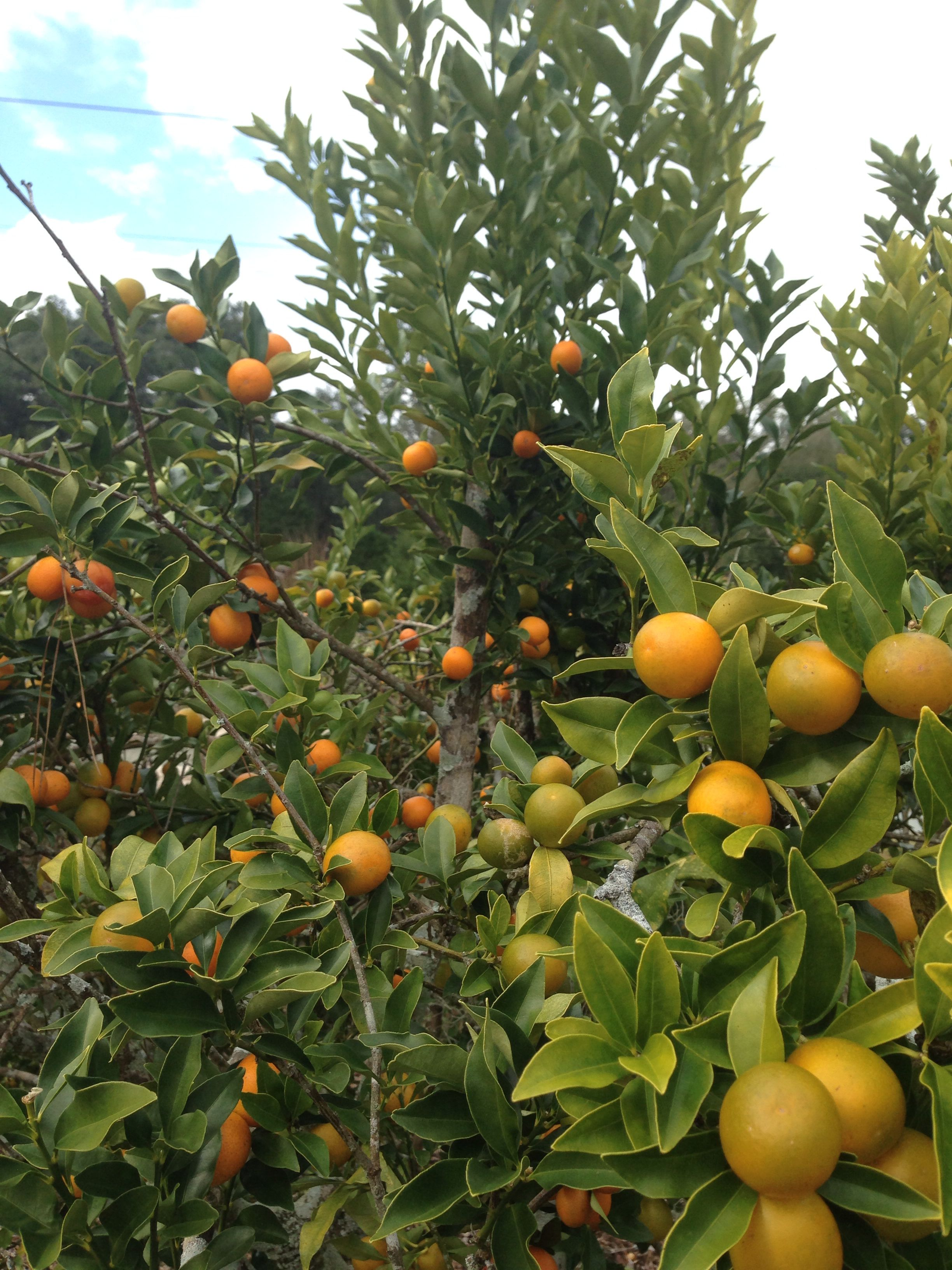 Kumquat Tree Bob Wines Camellia Gardens Ocala Fl Kumquat Tree Kumquat Tree