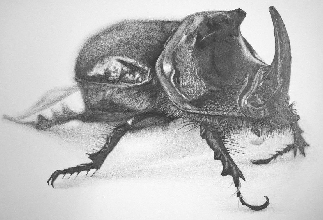 Rhinoceros Beetle, for Principles of Drawing, 2015