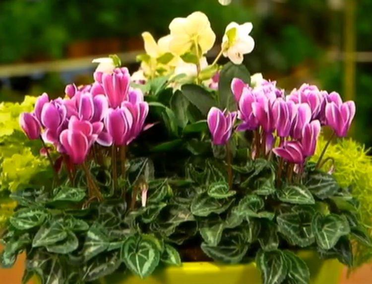 Cyclamens : 5 idées de jardinières d'intérieur - Femme Actuelle