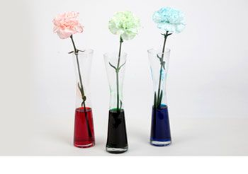 Coloring Carnations With Food Dye