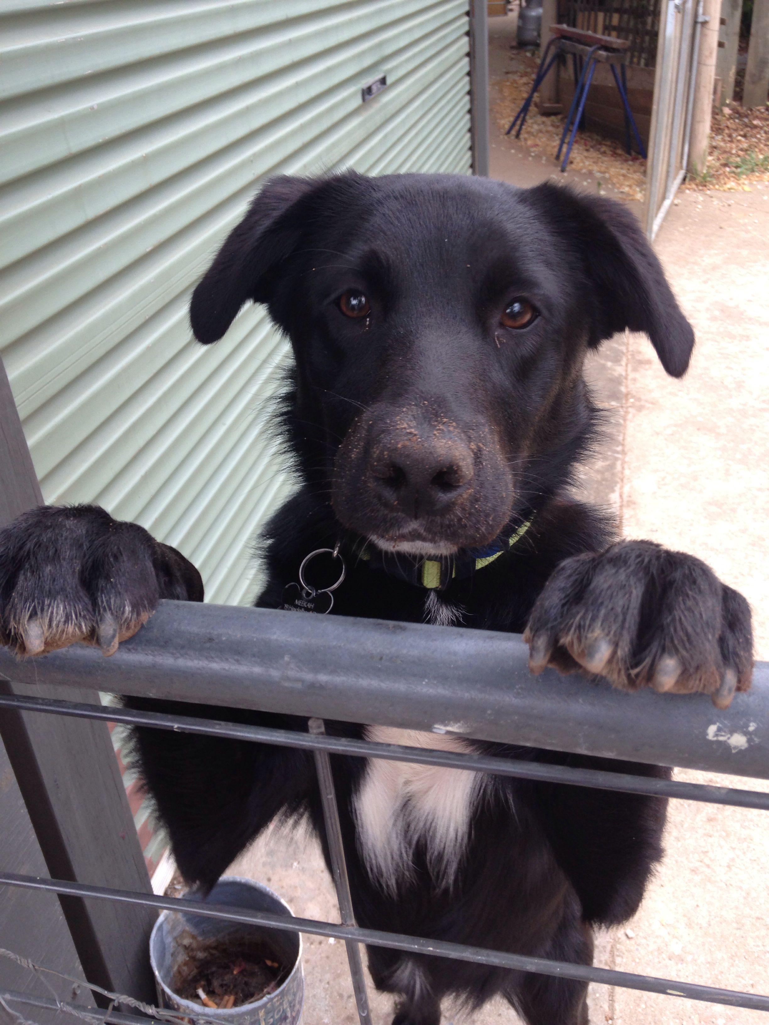 Meekah My Cute 10 Month Old Borador Puppy Border Collie X Labrador Border Collie Lab Mix Border Collie Dogs
