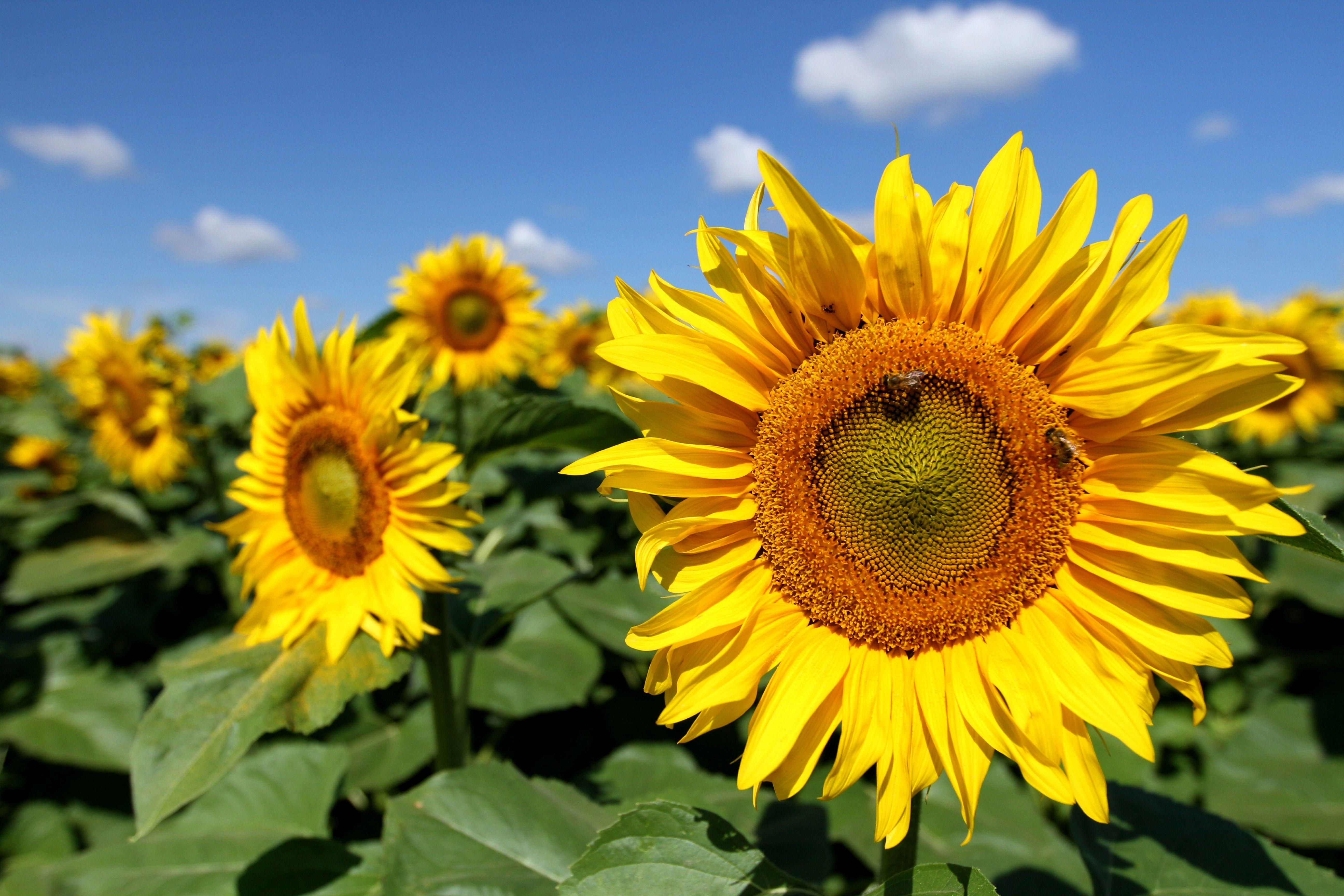 Sunflowers Solar Plexus Chakra Free Things To Do Sunflower Pictures Sunflower