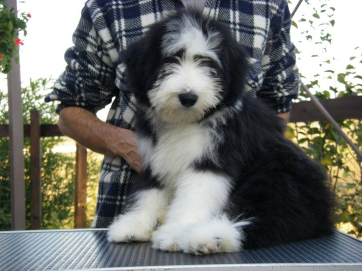 Adorable Bearded Collie Dog Bearding Old English Sheepdog Puppy
