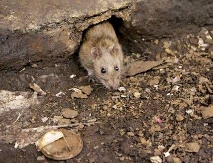 #NYC officials: 1 dead, 2 ill from rat-related disease - Toronto Sun: NBCNews.com NYC officials: 1 dead, 2 ill from rat-related disease…