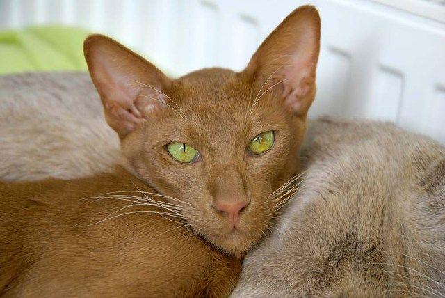 Oriental Shorthair Best Hypoallergenic Cat Hypoallergenic Cats