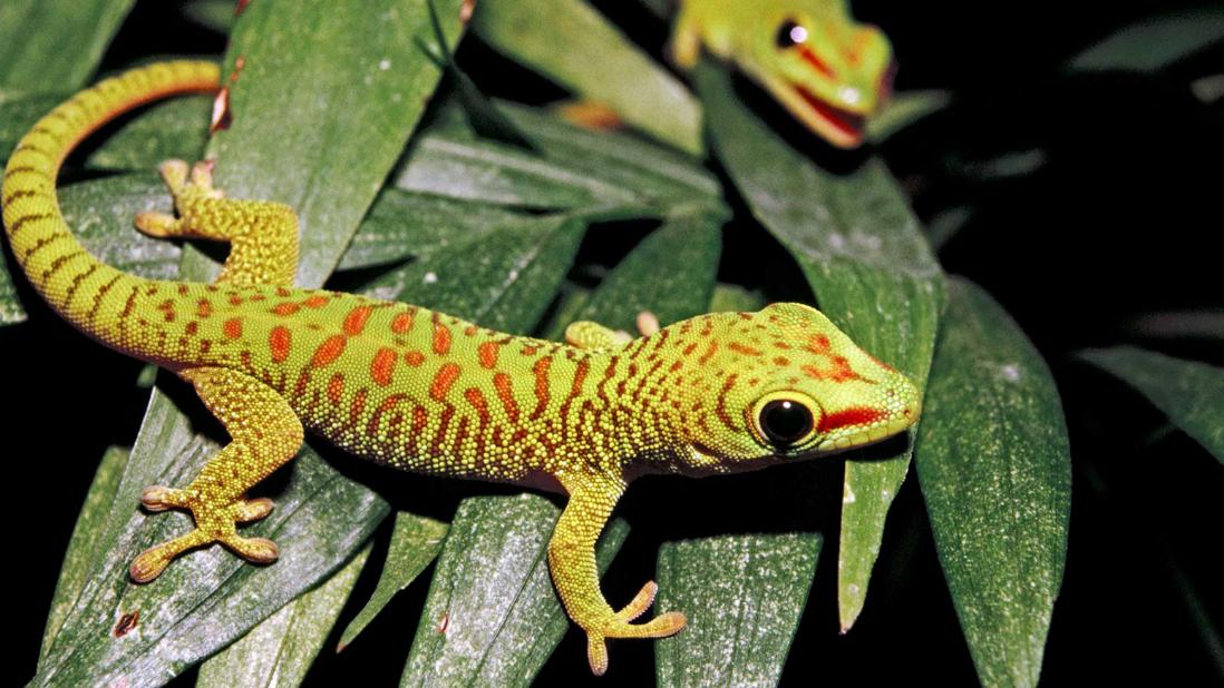 Geckos Lifespan Gecko Reptile Pet Store Colorful Lizards