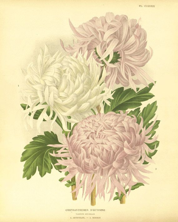 Chrysanthemums flower art print botanical prints Vintage prints