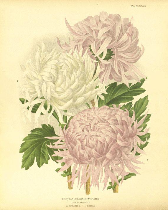 Chrysanthemum Antique flower art print antique wall art ...