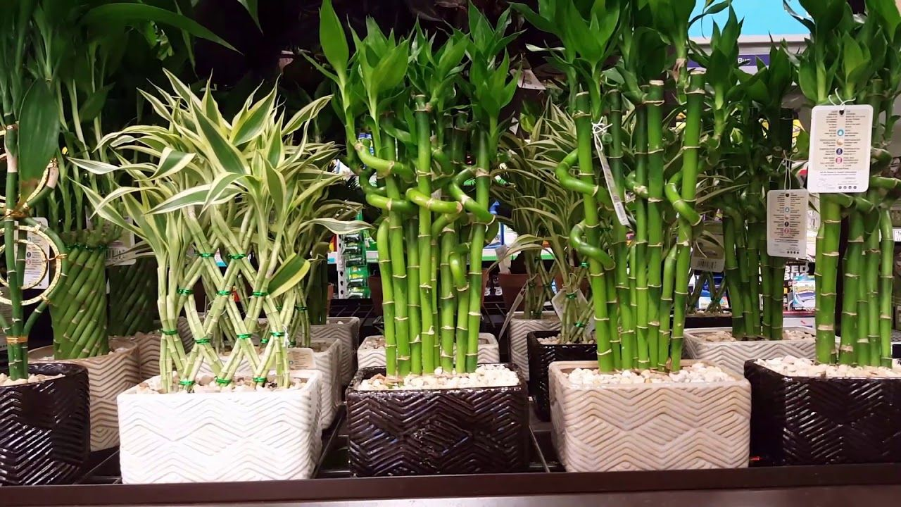 Pin On Lucky Bamboo Care