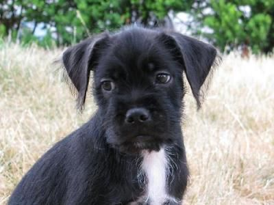 Sirius Is An 8 Week Old Boston Terrier Maltipoo Mix Click