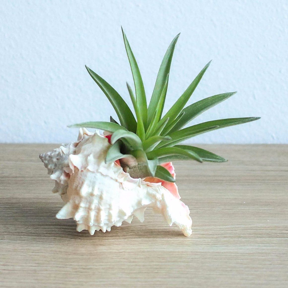 Pink Murex Seashell with Velutina Air Plant is part of Air plant display, Air plant terrarium, Air plants, Air plants wholesale, Plants, Air plants decor - Save up to 35% on a Set of 3 or 6 Murex Shell Arrangements Visit our Wholesale page for orders of 10 or more at great prices Beautiful Pink Murex Seashell arrangement with a medium size handselected air plant  Seashells are wonderful natural containers for air plants  The Pink Murex Seashell is about 2 inches wide wit
