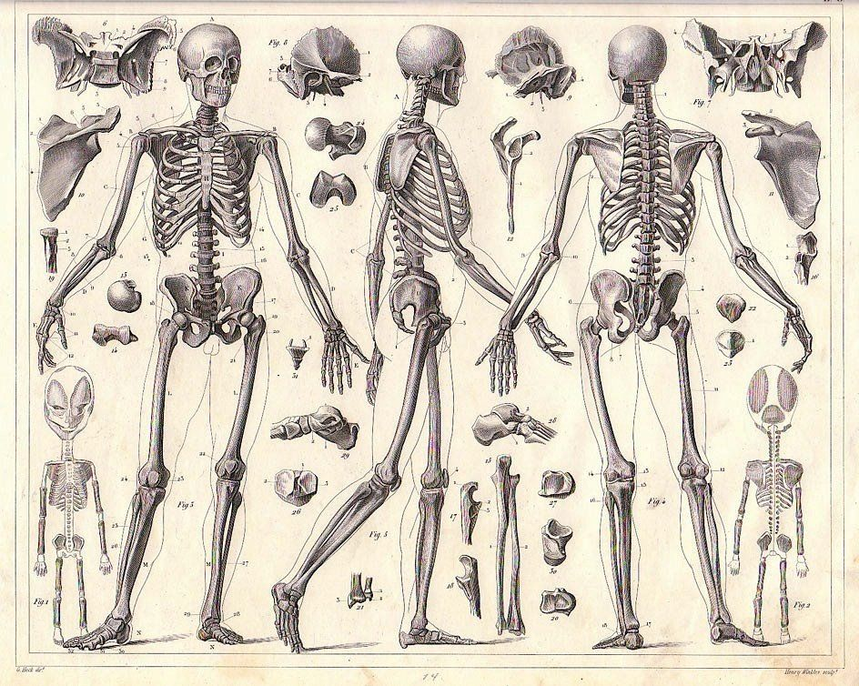 great human skeleton drawing | 107 academic Écorché studies, Skeleton