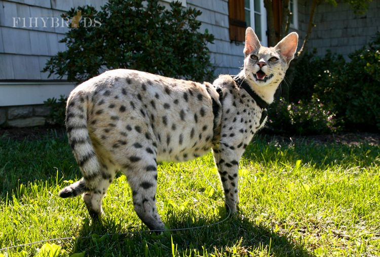 Savannah Cats Knoxville Tn In Tennessee Cats And Kittens Savannah Cat Cat Breeds