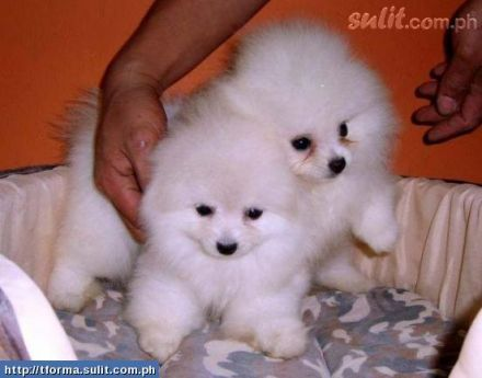 Primary Image Pomeranian Puppy Puppies Pomeranian Puppy For Sale