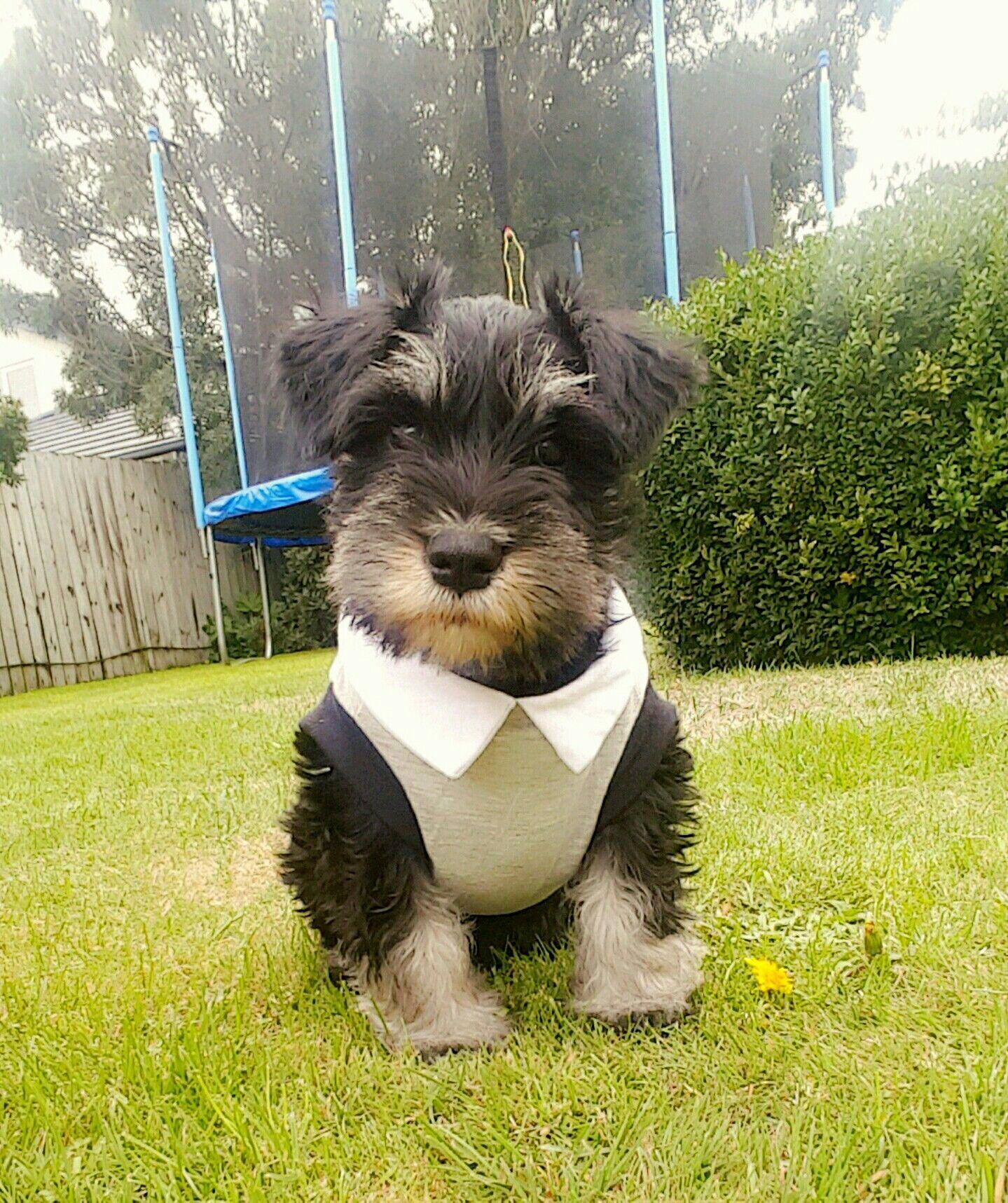 First day home. 8 weeks old.. #schnauzer #puppy # ...