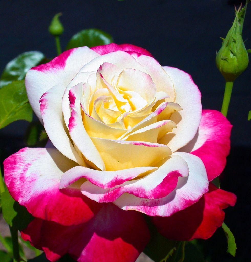 'Double Delight'   Hybrid Tea Rose. A.E. & A.W. Ellis, 1976   Flickr -  © Cap001 – Dan
