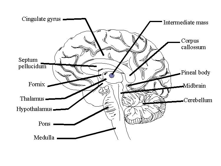 Conduct the area use human diagrams brain draw brain huge diagram 3 conduct the area use human diagrams brain draw brain huge diagram 3 online stroop labeled development of brain a of kwl diagram of conveniently the 2012 ccuart Image collections