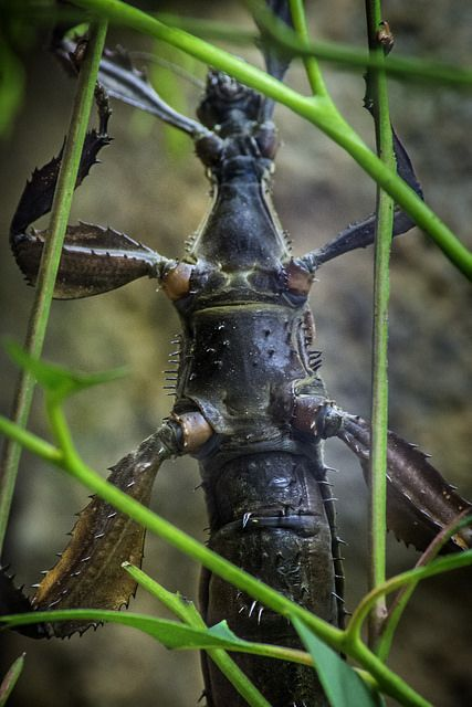 Spiny Stick Insect at the San Diego Zoo Insect House | by PACsWorld