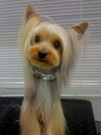 Japanese Style And Creative Coloring Dog Grooming Tips Dog Grooming Styles Yorkie Haircuts