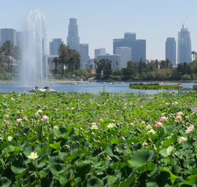 Going to the Echo Park Lotus Festival? Here's what you need to know | The Eastsider LA