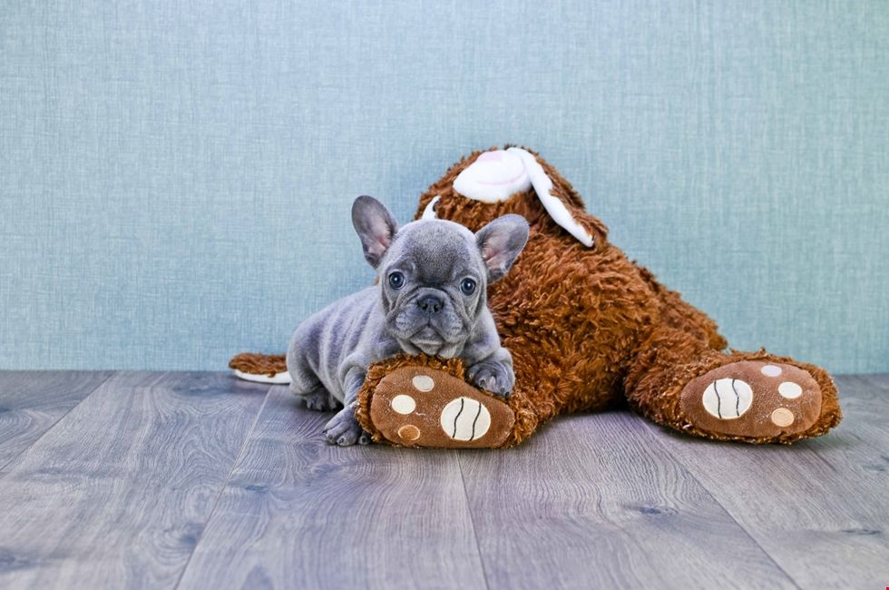French Bulldog Puppies For Sale Online Frenchie Pups French