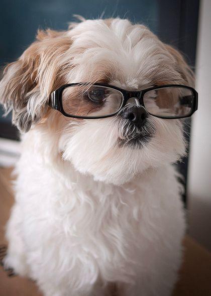 Fix Shih Tzu Dry Nose Shih Tzu Shitzu Dogs Shih Tzu Puppy