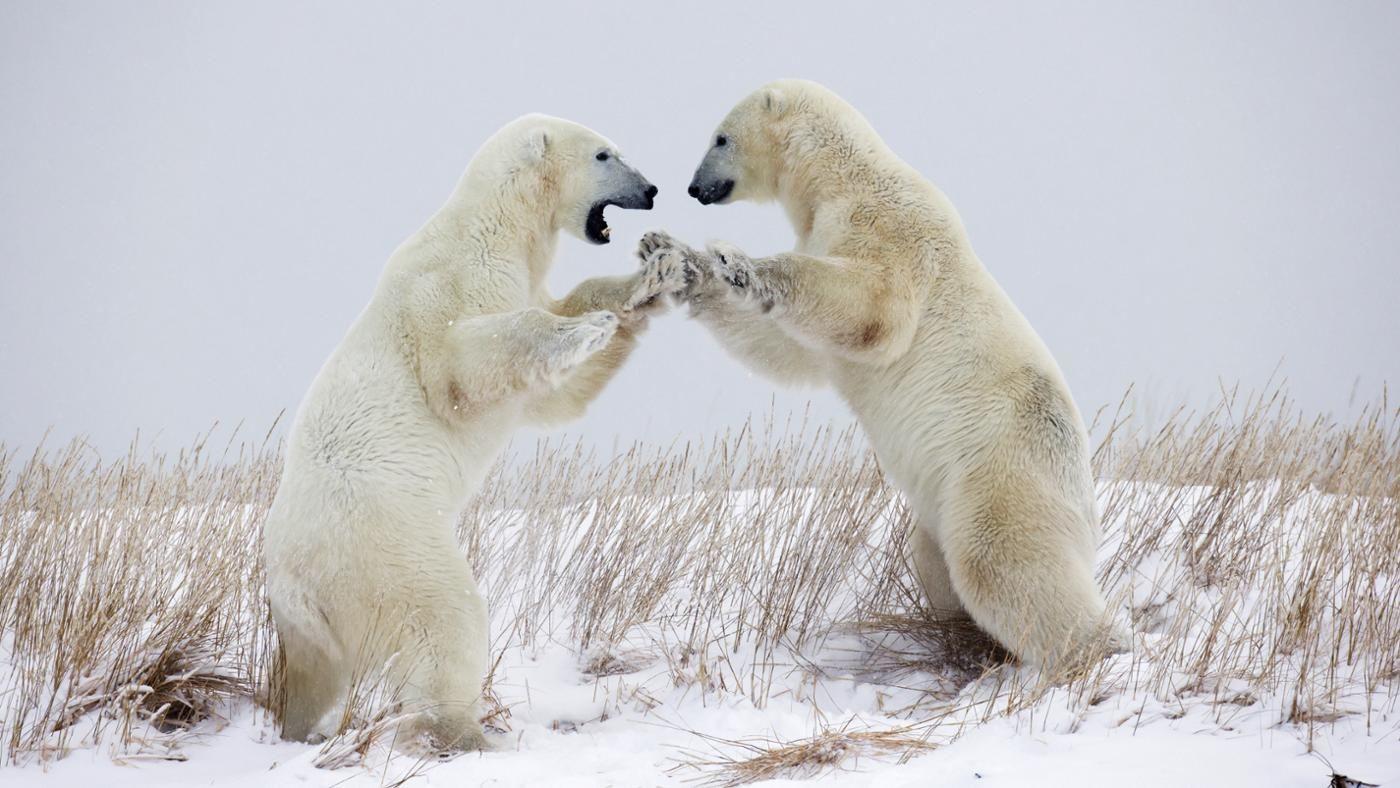 What Is A Polar Bear S Defense
