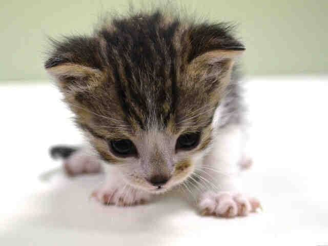 Safe To Be Destroyed 11 21 14 Adorable Little Kitten Manhattan Center Came In With Litter Of Kittens 102043 Safe Rescued Or Adopted Animals Cute Animals Little Kittens Animals