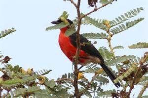Red-bellied Malimbe (Malimbus ...