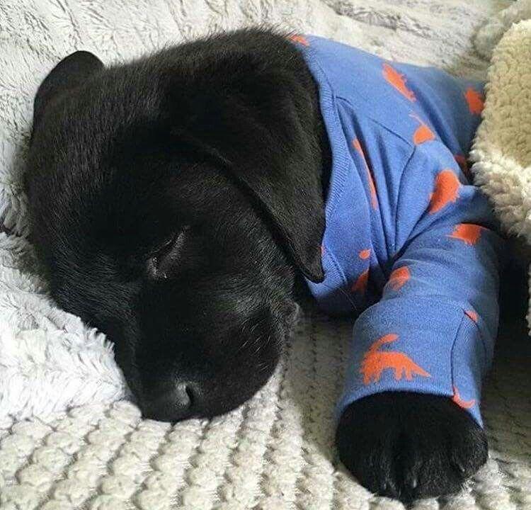 Most Inspiring Black Chubby Adorable Dog - 7fde6f46e9c6c764db434b3b7c948ee5  Photograph_109638  .jpg