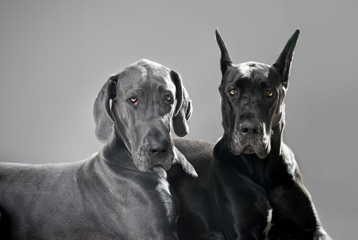 Cropped And Uncropped Great Dane Dogs Grey Great Dane Dane Dog