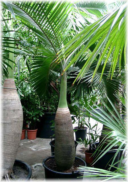 Flaschen Palme Hyophorbe Lagenicaulis Kubelpflanzen Pflanzen Palmen