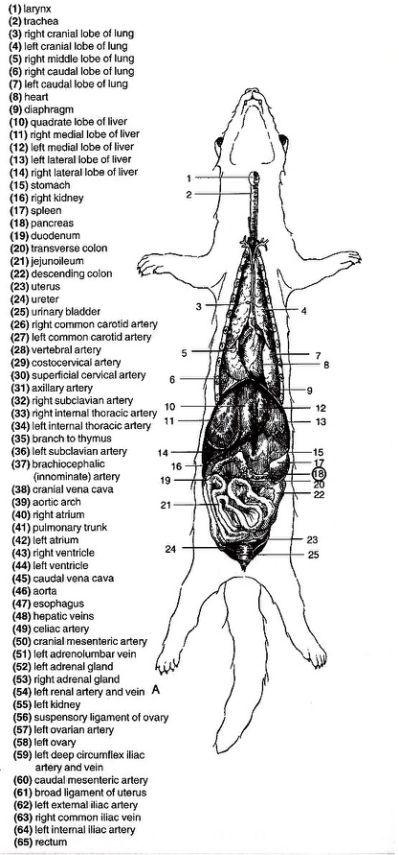 Marshall Ferret Anatomy Poster Ferrer Pinterest Ferret And Anatomy
