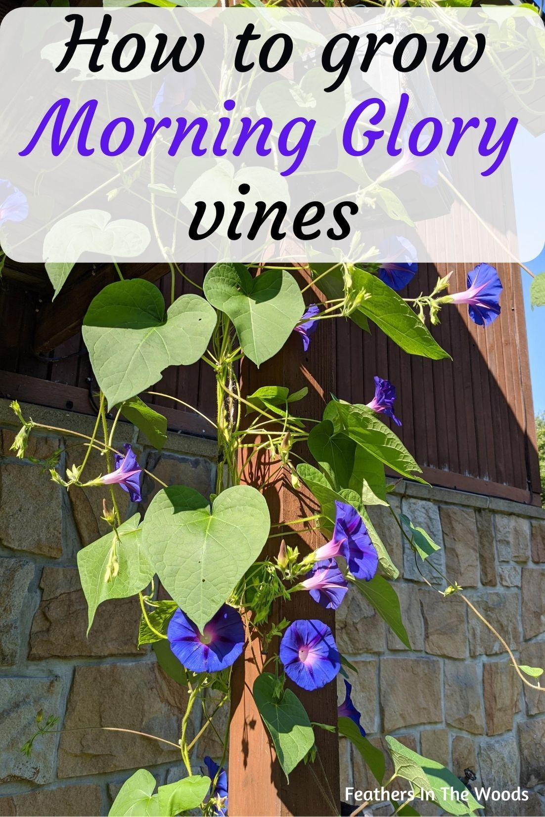 How To Grow Morning Glories In 2020 Morning Glory Vine Morning Glory Plant Morning Glory Flowers