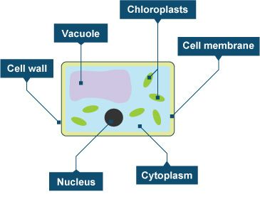Diagram of a plant cell biology ecology unit pinterest plant diagram of a plant cell ccuart Image collections
