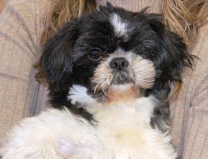 Adopt Chase Adopted On Shih Tzu Dog Shih Tzu Dogs