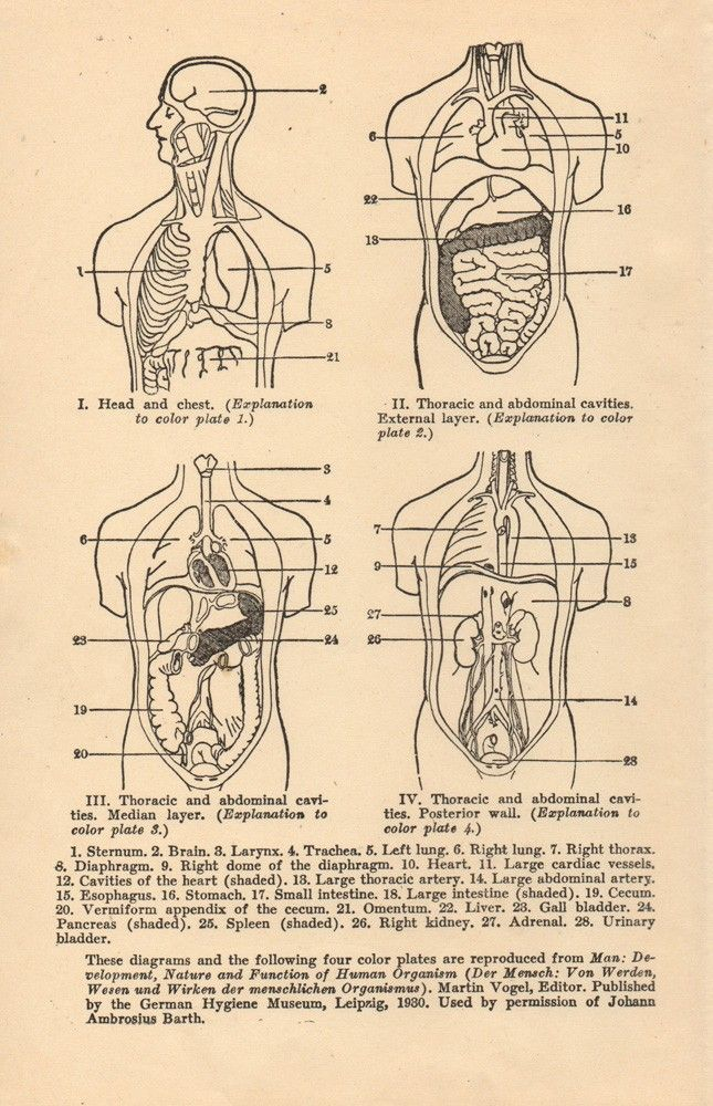 View of the Cranial Abdominal and Thoracic Cavities   Medical ...