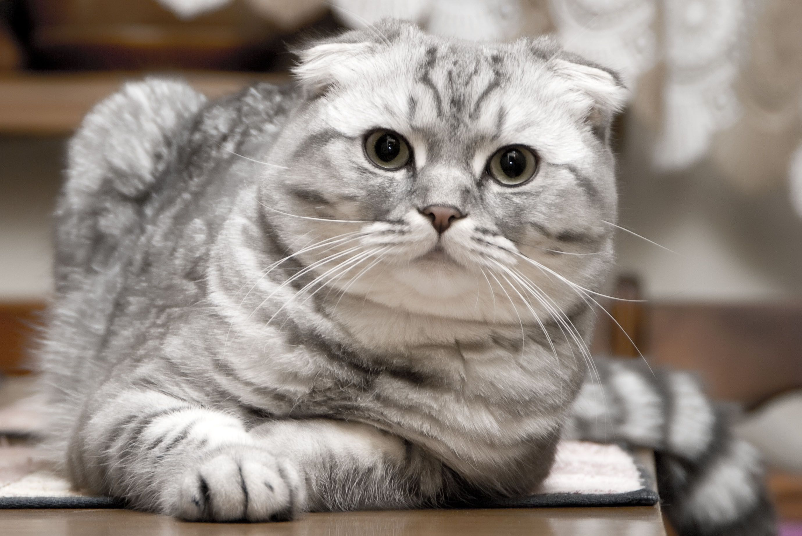 Scottish Fold Scottish Fold Cat Scottish Fold Kitten Scottish Fold