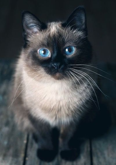 What stunning blue eyes this kitty has…