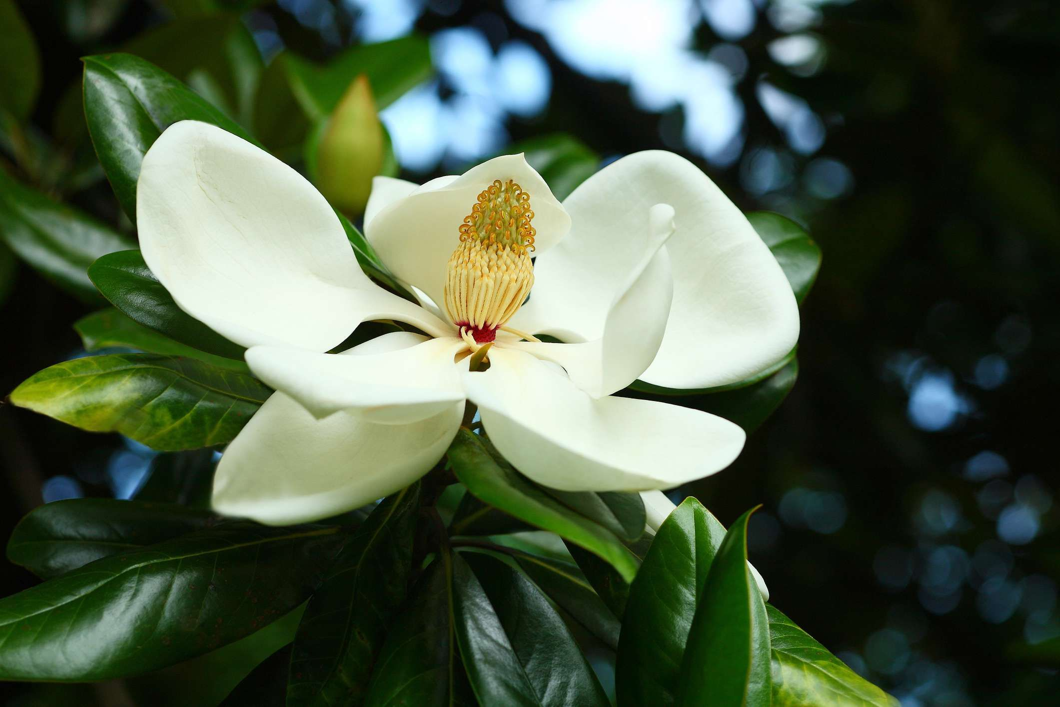 12 Species Of Magnolia Trees And Shrubs Flowers Magnolia Trees
