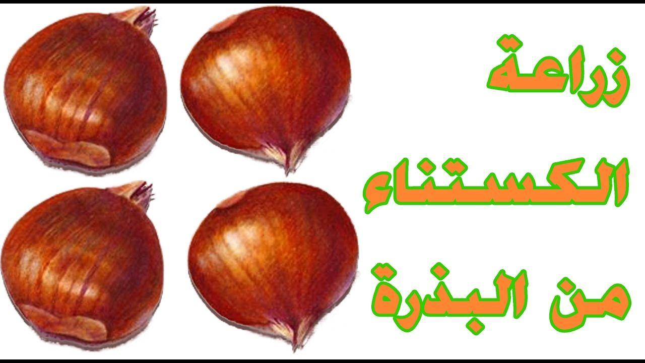 طريقة زراعة الكستناء باستخدام ثمرة كستناء Vegetables Onion