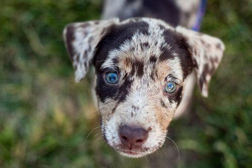 Amazing Cute Puppy Blue Eye Adorable Dog - 7fe1b203e619efe3bff63285a488ec90  Graphic_148047  .jpg
