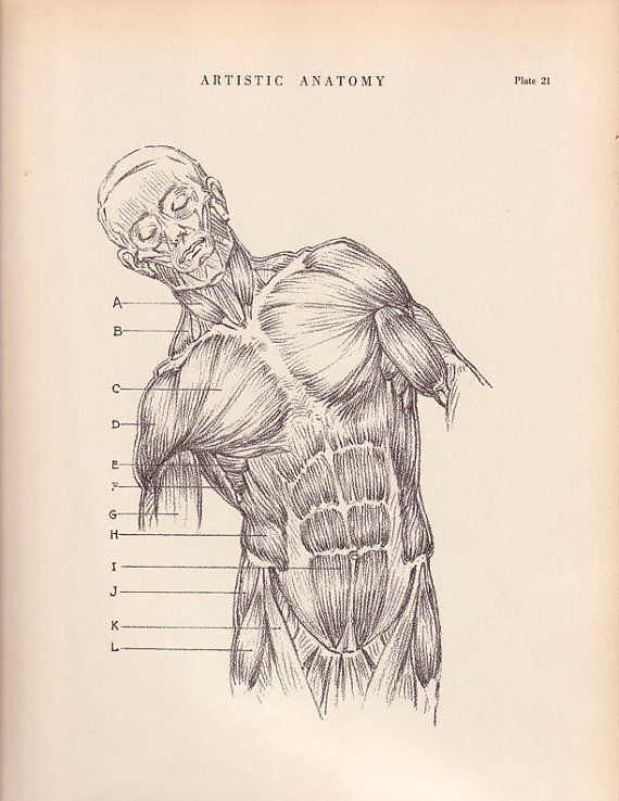 1941 Vintage Print Human Anatomy Diagram 9 X 12 Trunk Muscle