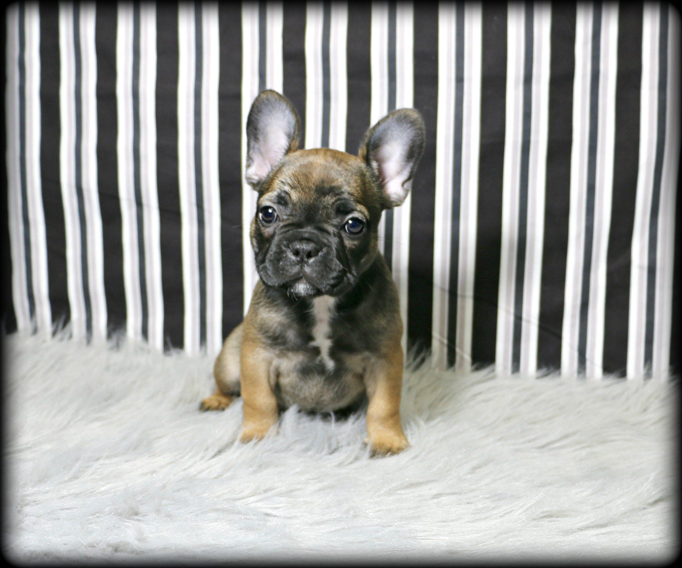 Petland Overland Park Has French Bulldog Puppies For Sale Check